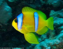 BD-090409-Marsa-Alam-4093171-Amphiprion-bicinctus.-Rüppell.-1830-[Twoband-anemonefish.-Tvåbandad-clownfisk].jpg